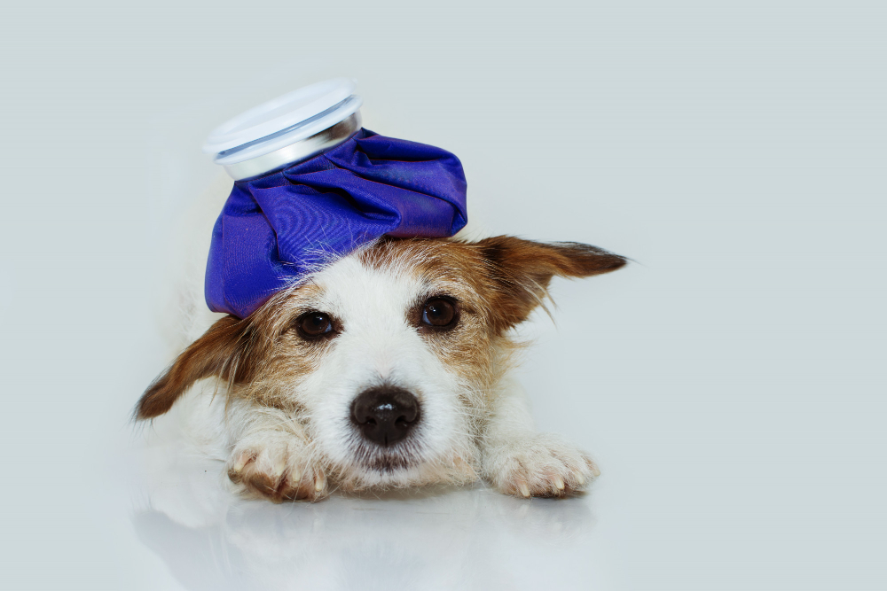 A Holistic First Aid Kit for Pets, image of a dog with a ice pack on its head